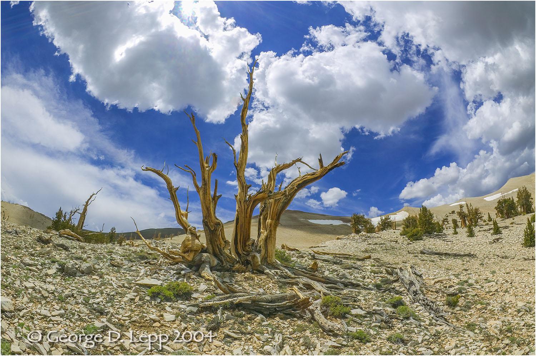 Bristle Cone Pines.    © George D. Lepp 2014 LC-SI-BR-0001