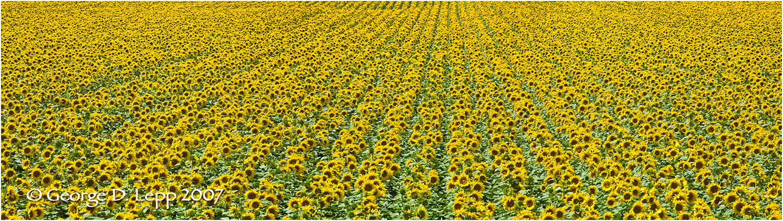 Field of sunflowers in Kansas.     © George D. Lepp 2007 -SU-FL-0008