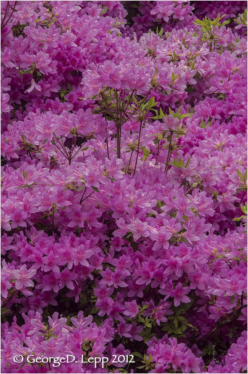 Azaleas, Seattle, Washington.    © George D. Lepp 2012 PG-AZ-0008