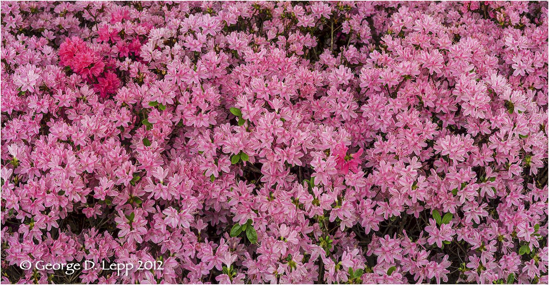Azaleas, Seattle, Washington.    © George D. Lepp 2012 PG-AZ-0003