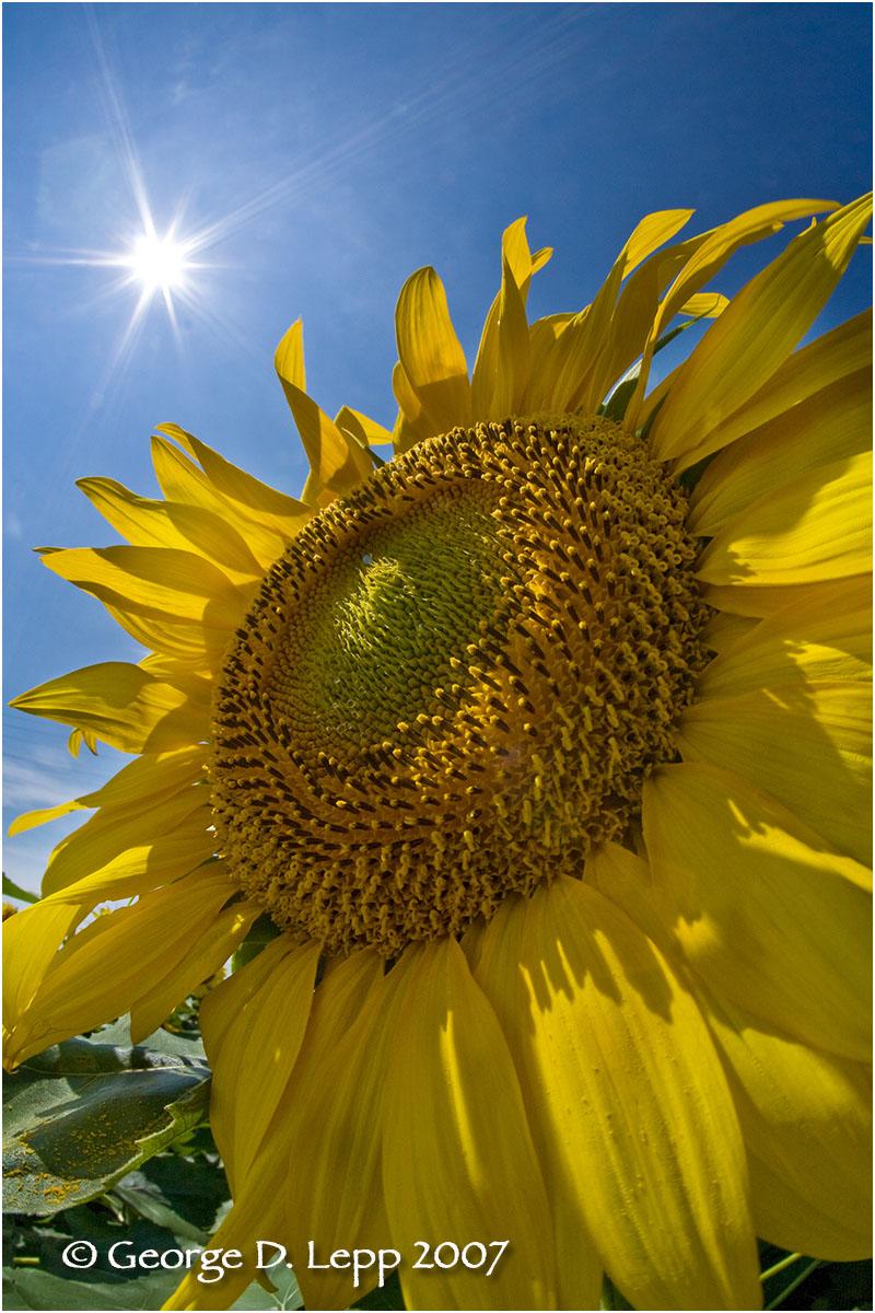 Sun and Sunflower.    © George D. Lepp 2007C-SU-FL-0014