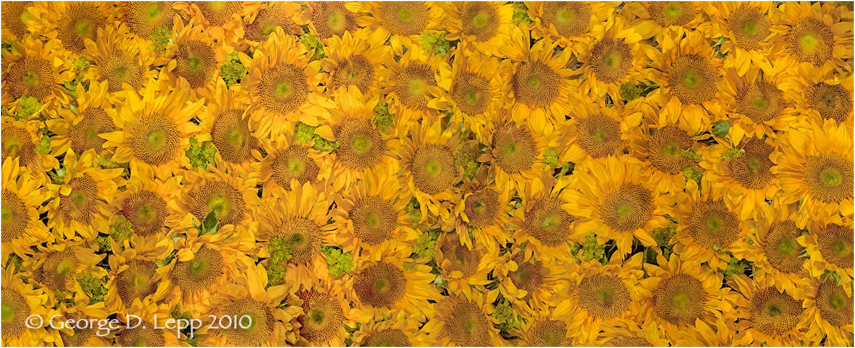 Sunflower heads.    © George D. Lepp 2010 PG-SF-OR-0001