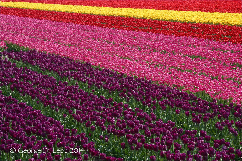 Tulips, Holland. © George D. Lepp 2014 PG-TU-0001