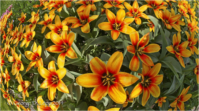 Tulips, Holland. © George D. Lepp 2014 PG-TU-0005