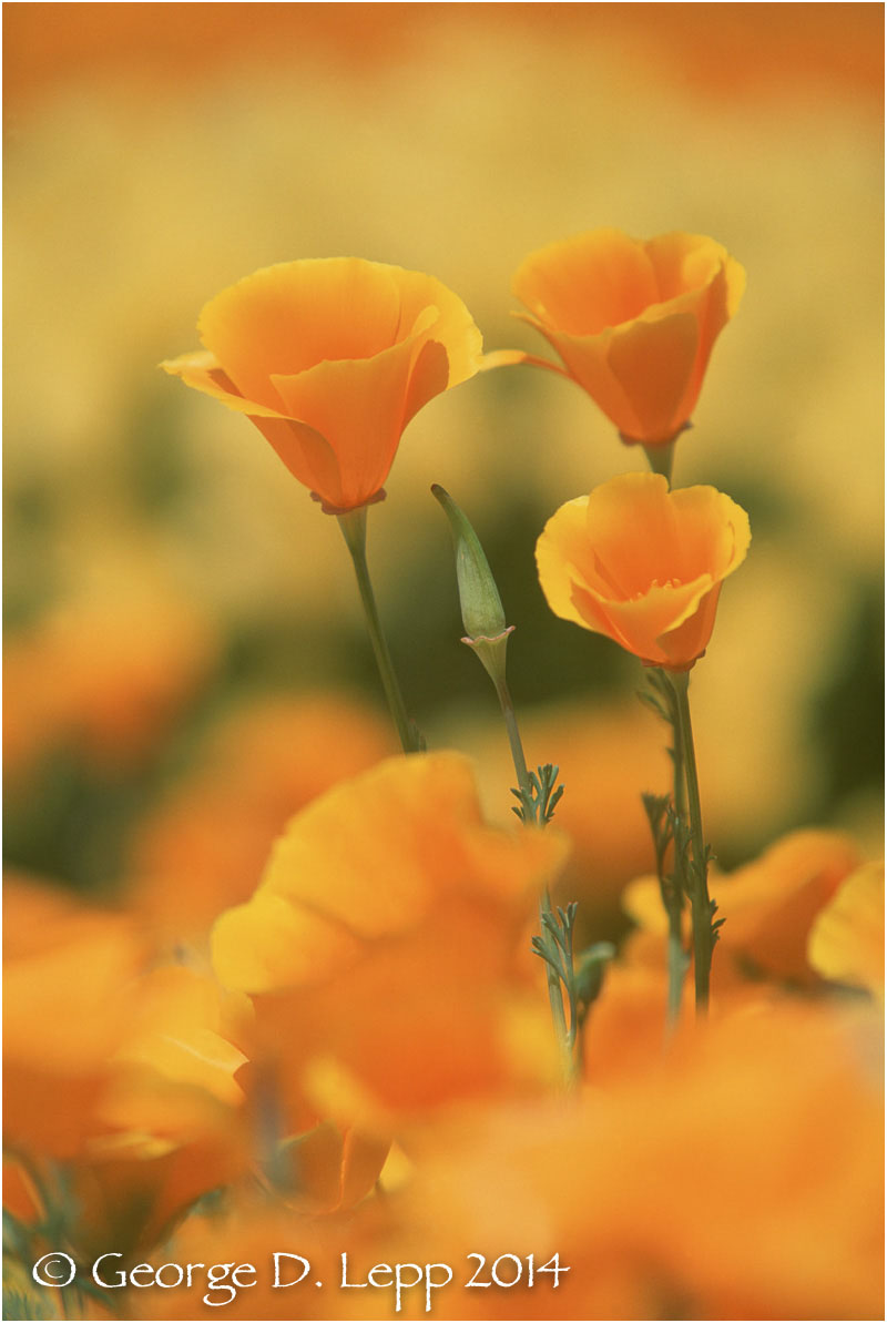 California Poppy.     © George D. Lepp 2014  PW-PO-0127