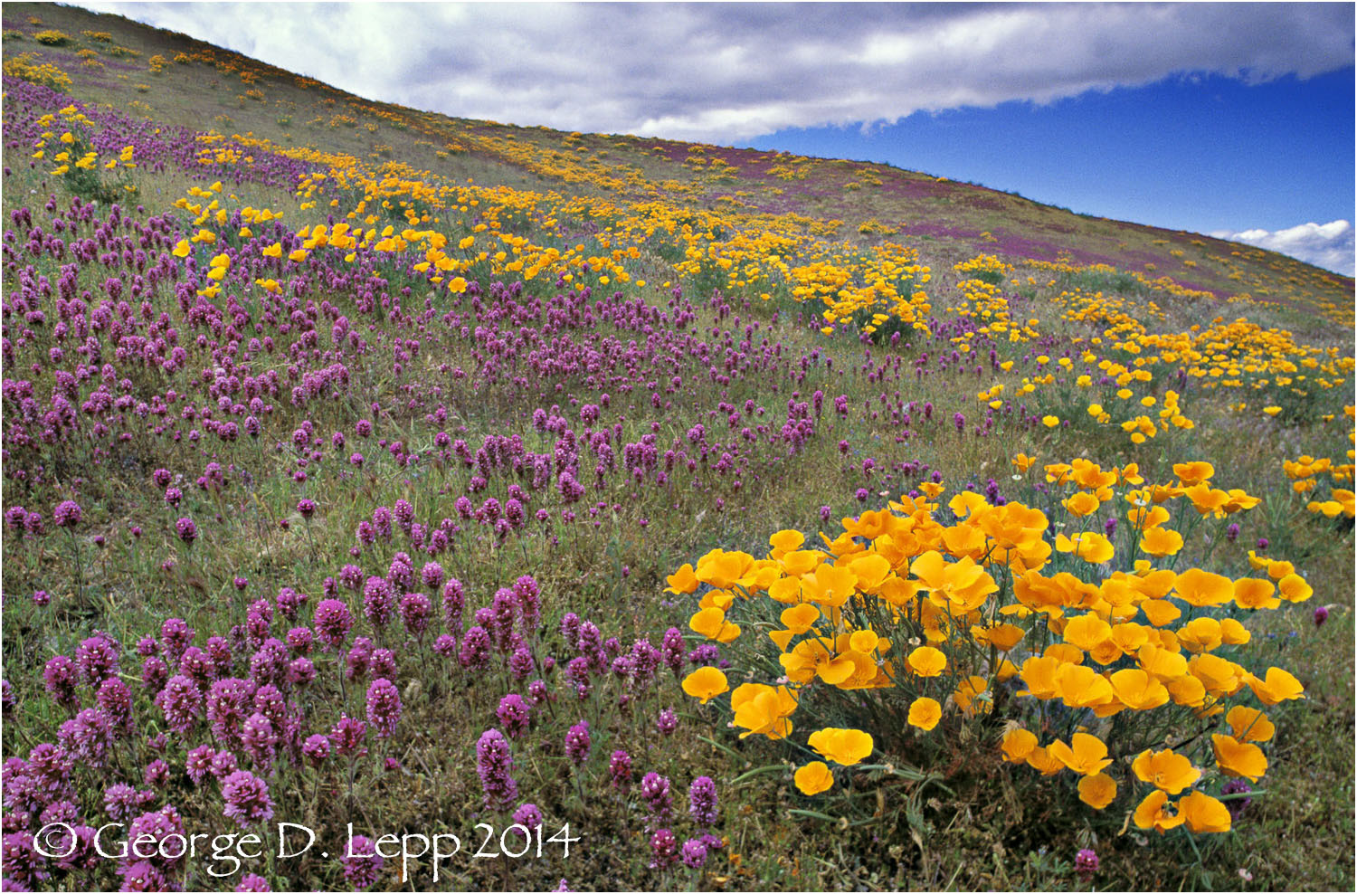 California Poppy.     © George D. Lepp 2014  PW-PO-0046