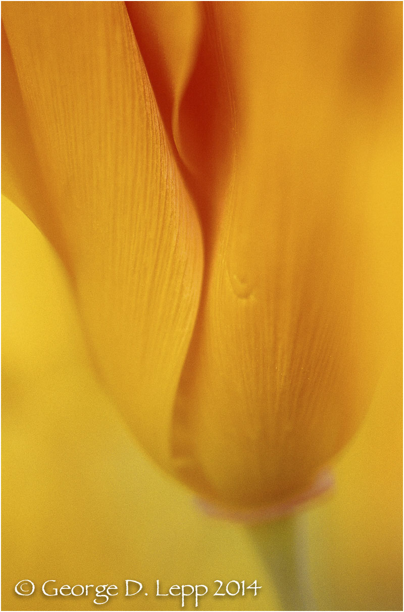 California Poppy.     © George D. Lepp 2014  PW-PO-0202