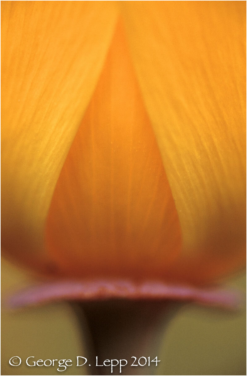 California Poppy.     © George D. Lepp 2014  PW-PO-0196