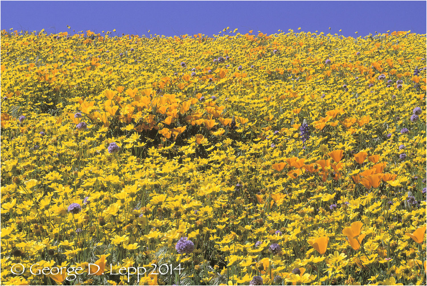 California Poppy.     © George D. Lepp 2014  PW-PO-0207