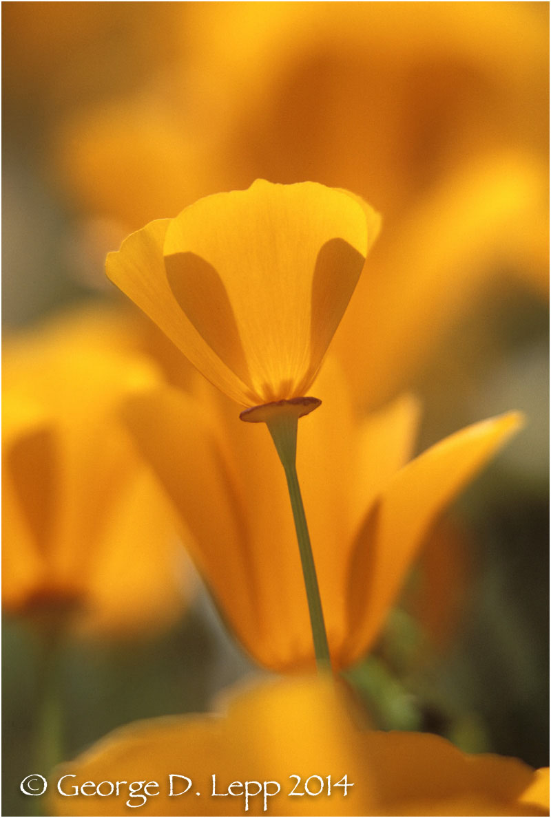 California Poppy.     © George D. Lepp 2014  PW-PO-0217