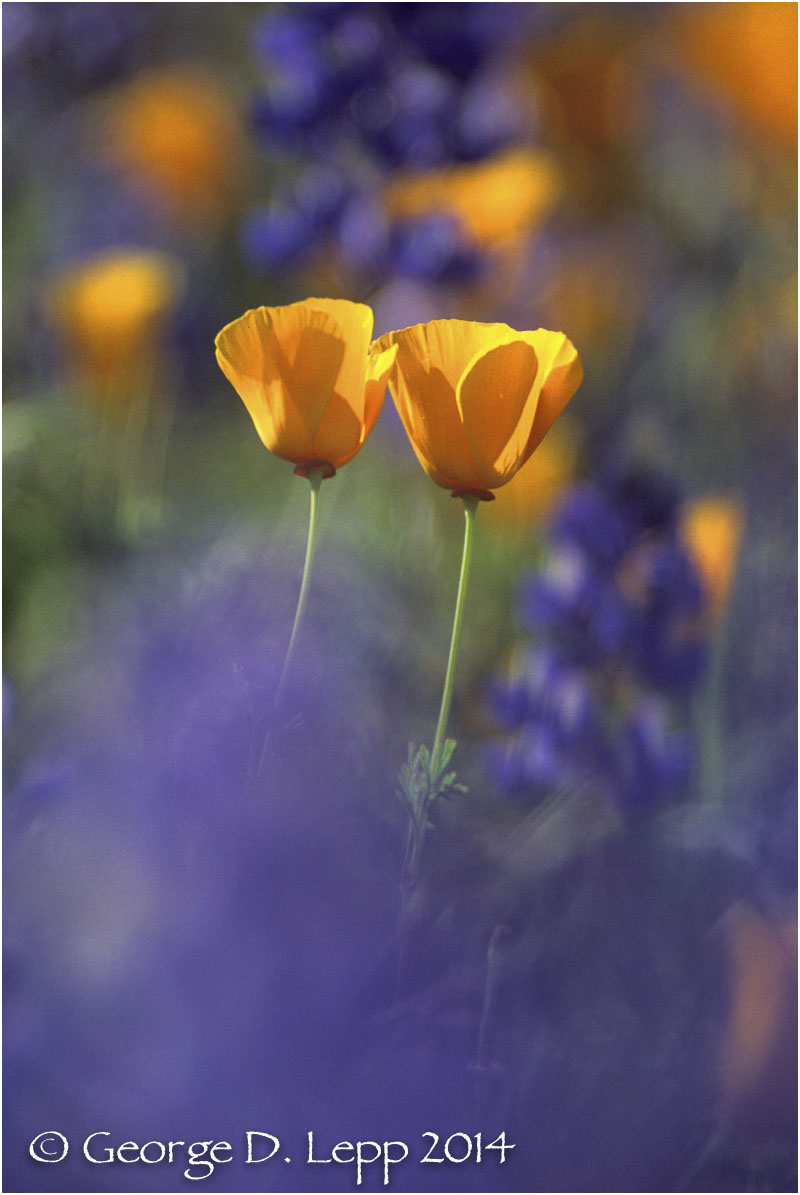 California Poppy.     © George D. Lepp 2014  PW-PO-0337