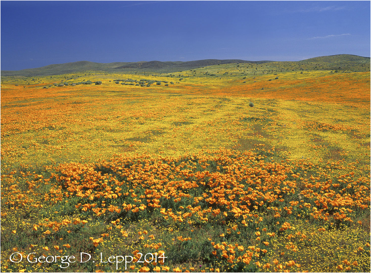 California Poppy.     © George D. Lepp 2014  PW-PO-0363