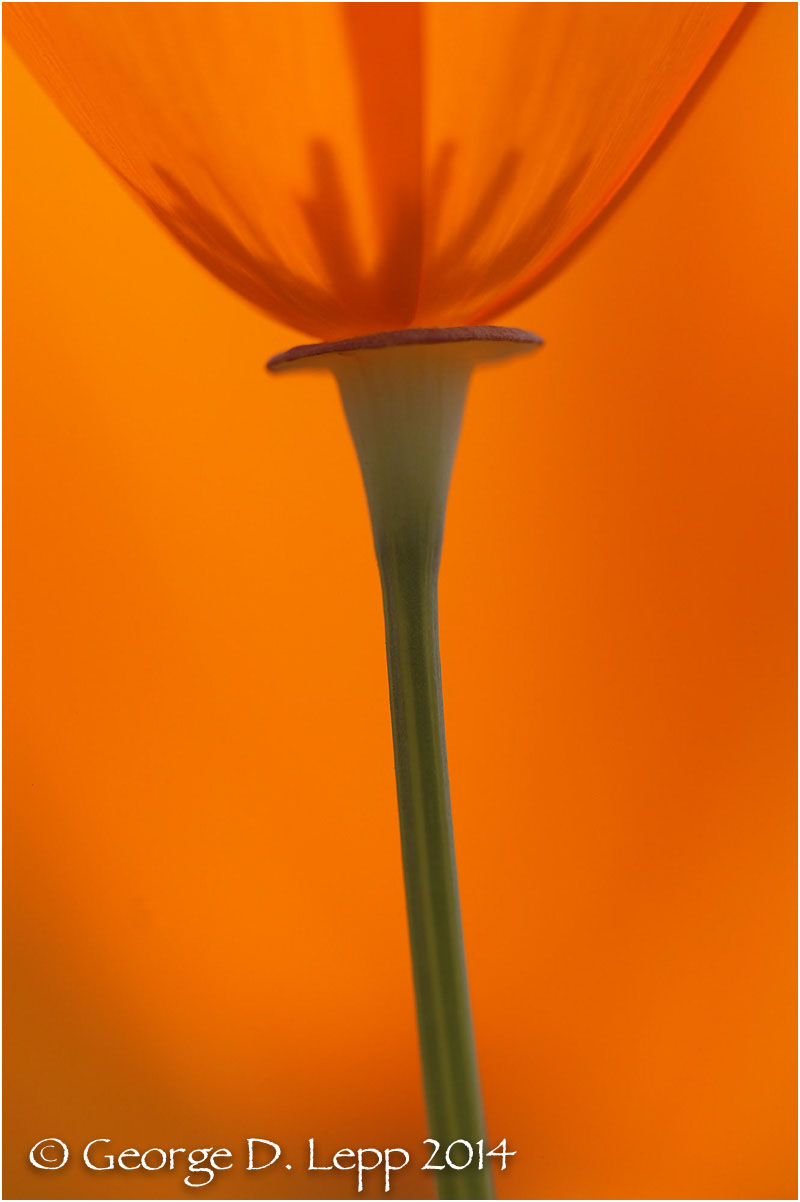 California Poppy.     © George D. Lepp 2014  PW-PO-0381