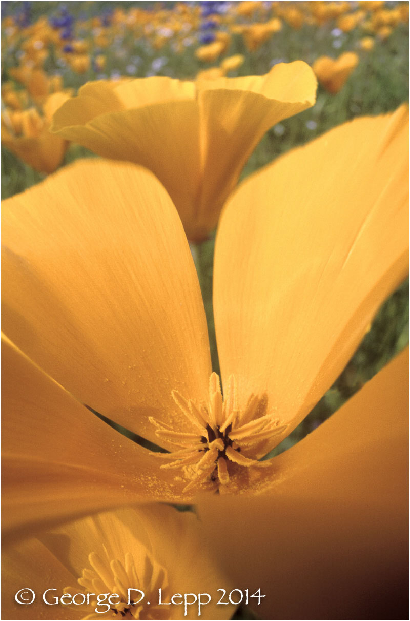 California Poppy.     © George D. Lepp 2014  PW-PO-0244