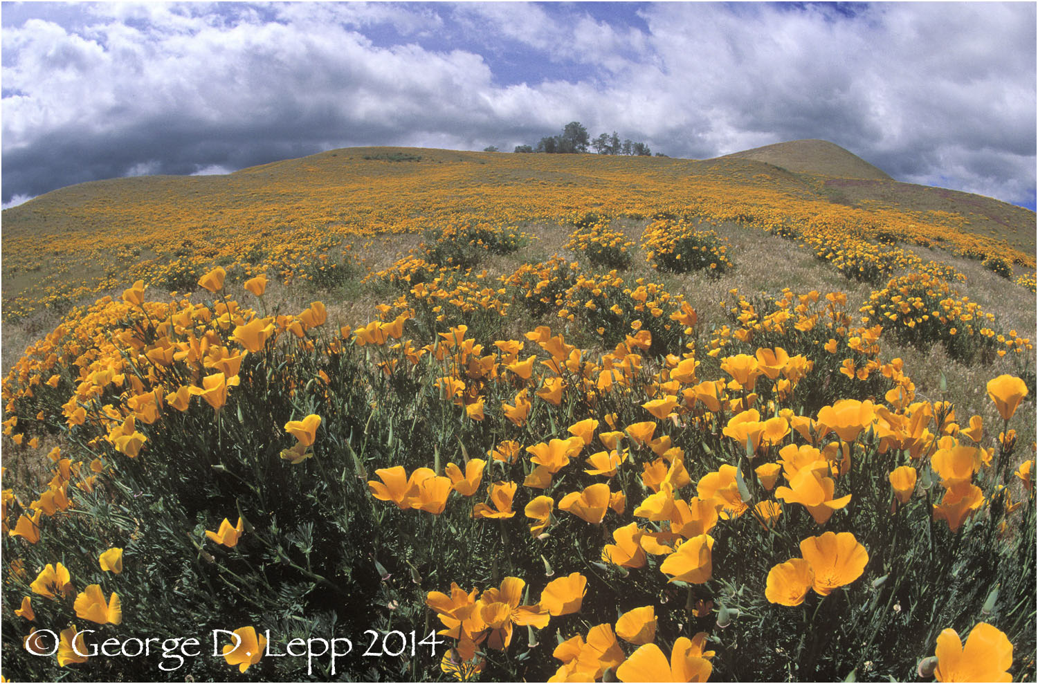 California Poppy.     © George D. Lepp 2014  PW-PO-0023