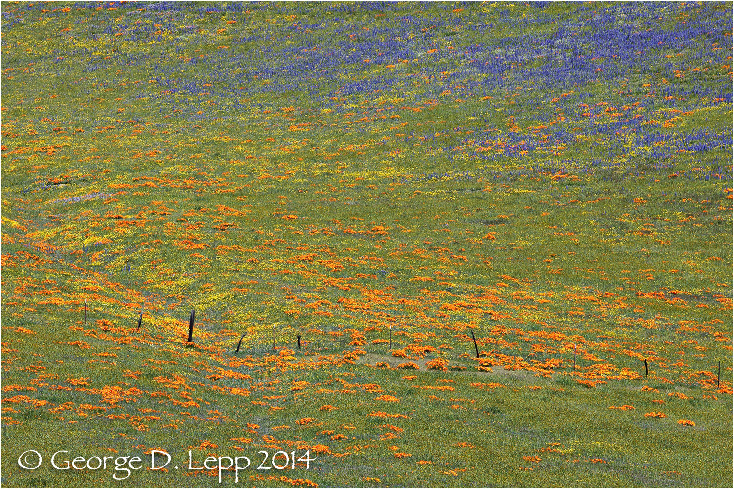 California Poppy.     © George D. Lepp 2014  PW-PO-0357