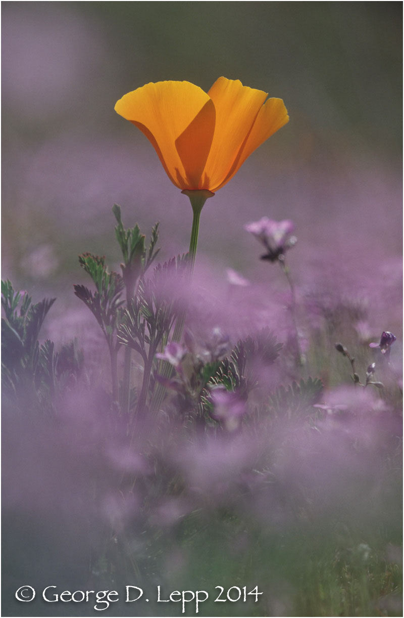California Poppy.     © George D. Lepp 2014  PW-PO-0121