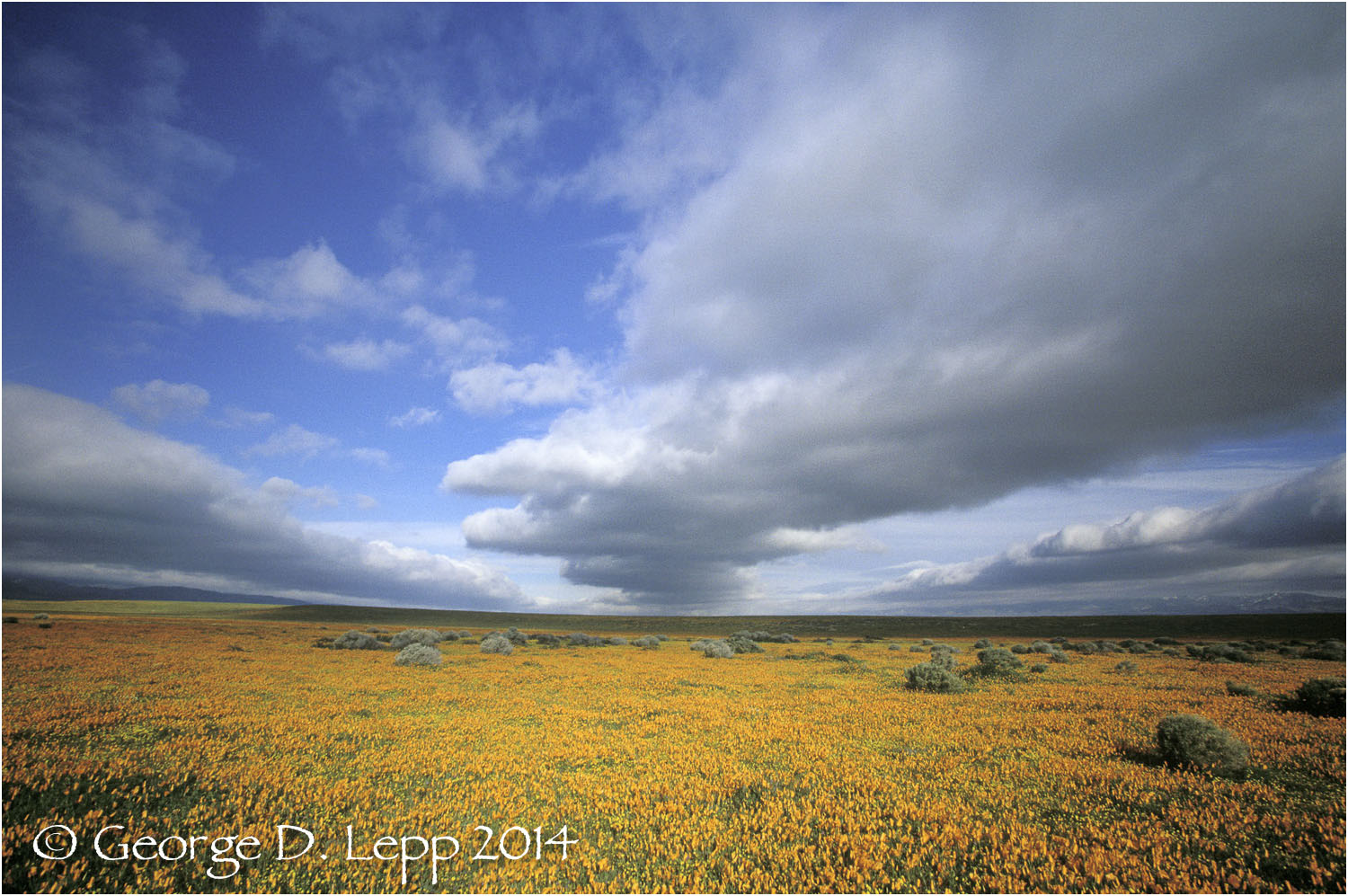 California Poppy.     © George D. Lepp 2014  PW-PO-0165