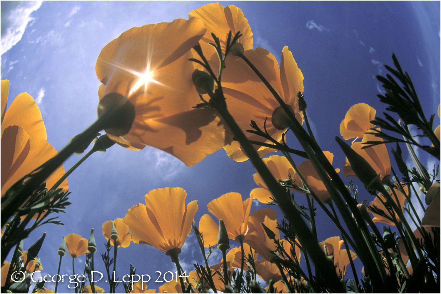 California Poppy.     © George D. Lepp 2014  PW-PO-0178