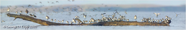 Birds on a Log, Morro Bay, CA. © George D. Lepp 2005 BS-GG-0001