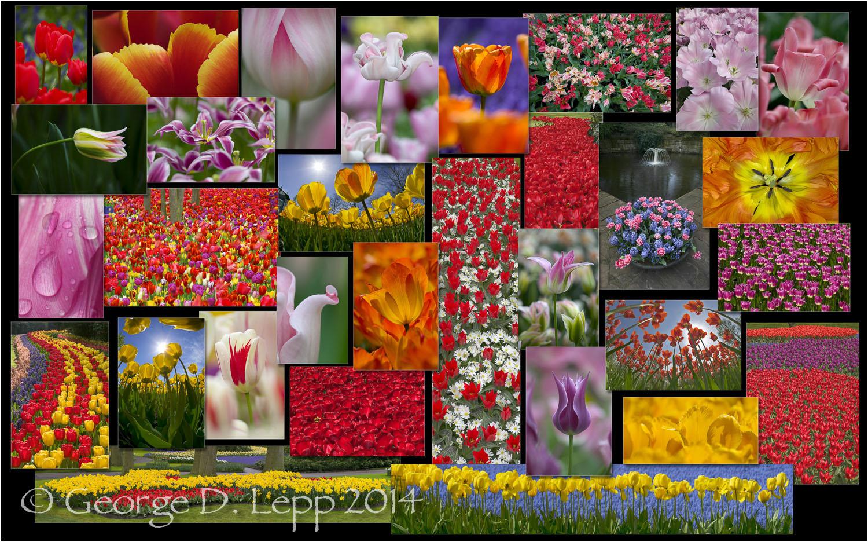 Tulip Composite,Holland. © George D. Lepp 2014 PG-TU-0327