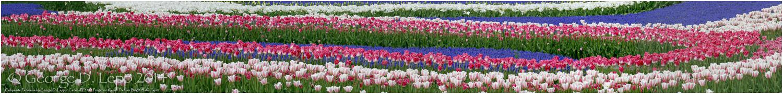Tulips, Holland. © George D. Lepp 2014 PG-TU-0014