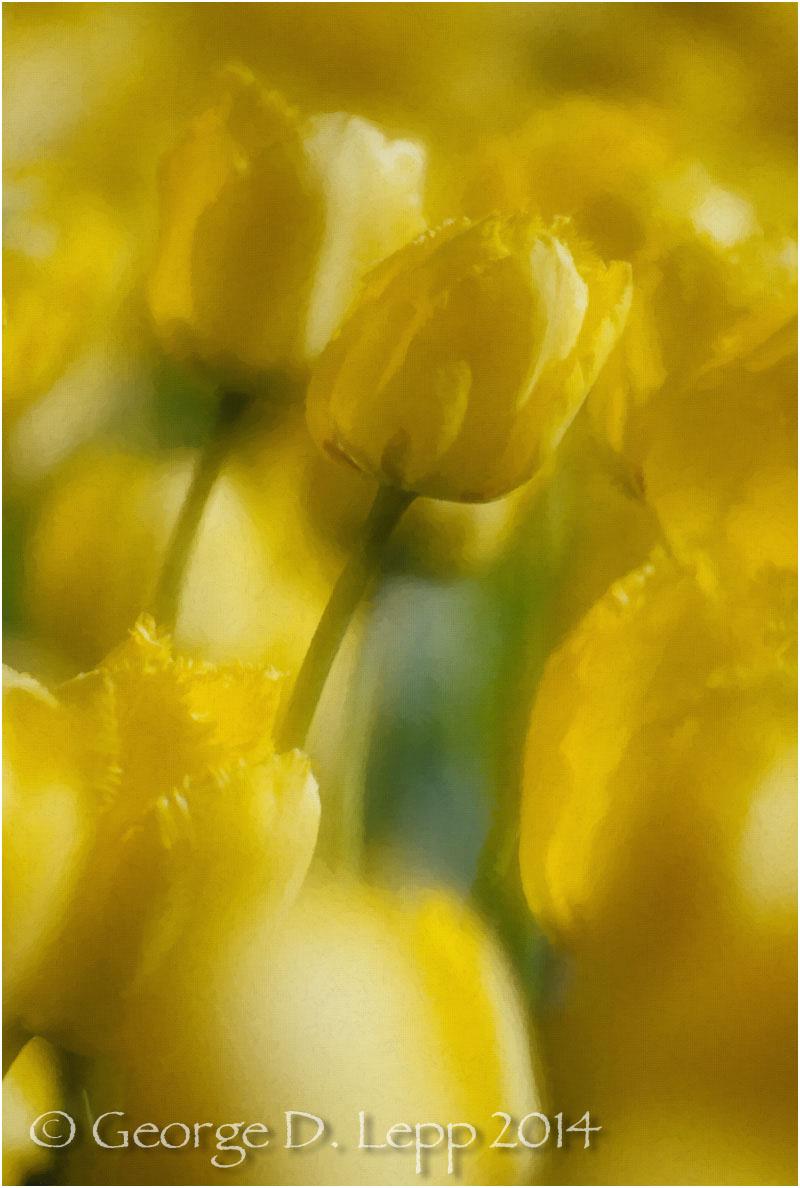 Tulips, Holland. © George D. Lepp 2014 PG-TU-0025