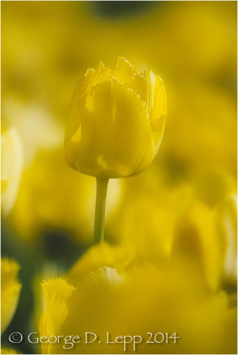 Tulips, Holland. © George D. Lepp 2014 PG-TU-0026