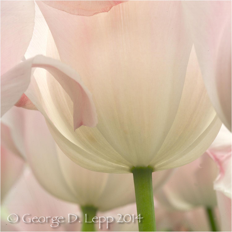 Tulips, Holland. © George D. Lepp 2014 PG-TU-0203
