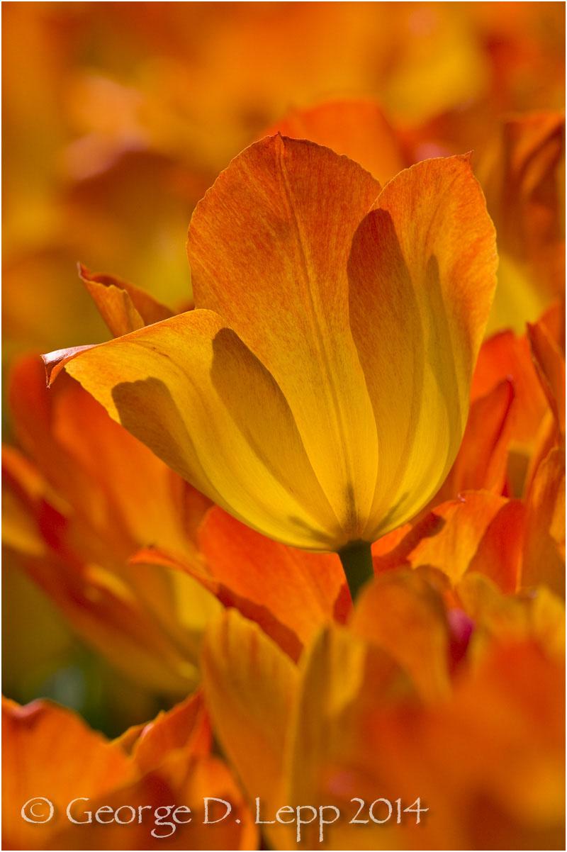 Tulips, Holland. © George D. Lepp 2014 PG-TU-0081