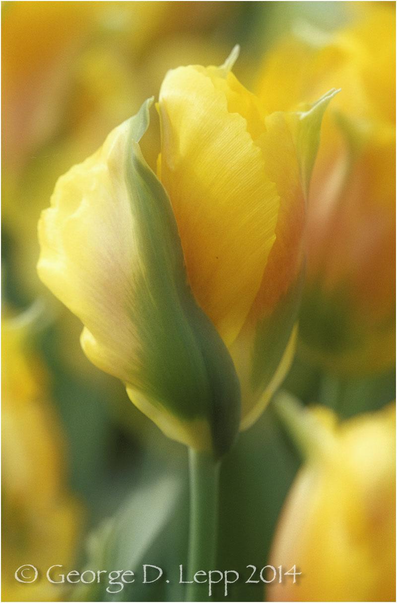 Tulips, Holland. © George D. Lepp 2014 PG-TU-0064