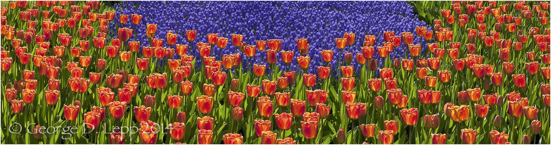 Tulips, Holland. © George D. Lepp 2014 PG-TU-0328