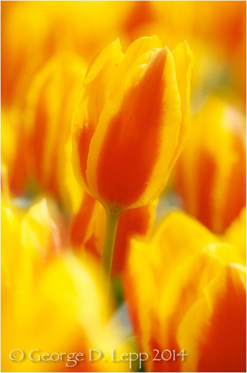 Tulips, Holland. © George D. Lepp 2014 PG-TU-0030