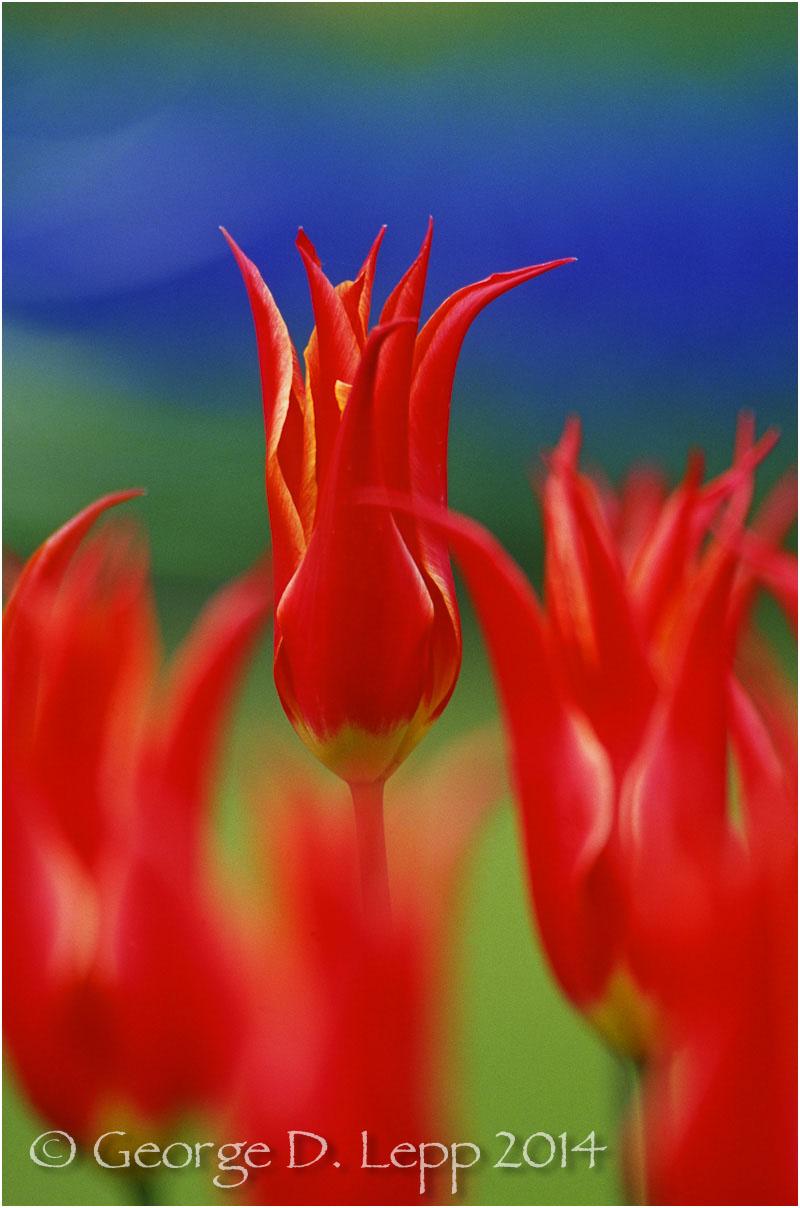 Tulips, Holland. © George D. Lepp 2014 PG-TU-0036