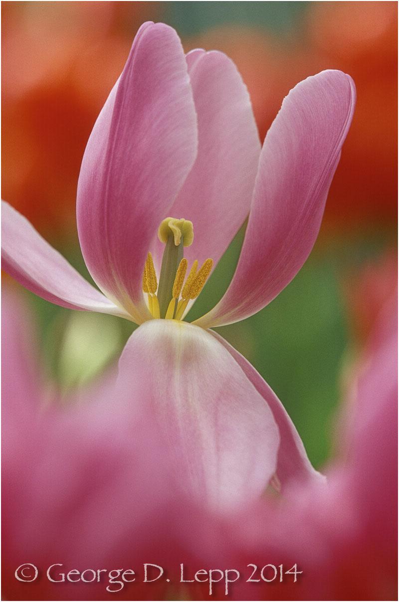 Tulips, Holland. © George D. Lepp 2014 PG-TU-0069