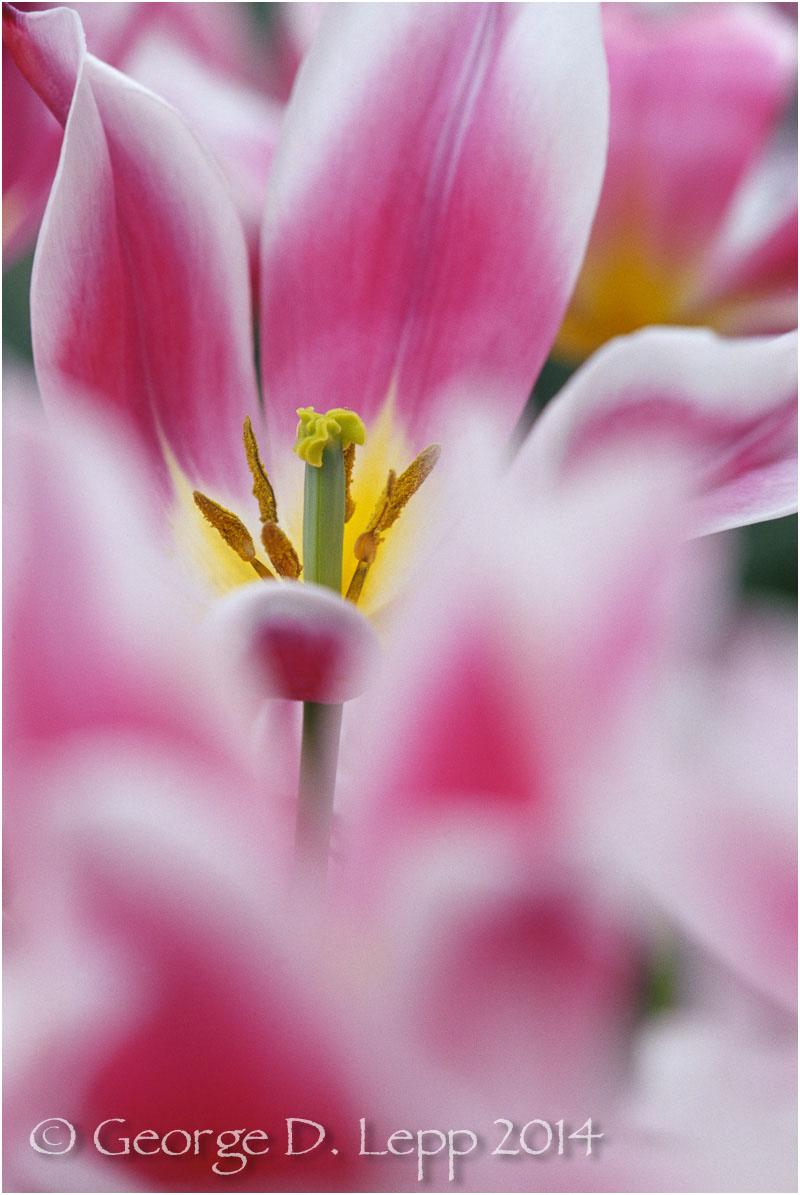 Tulips, Holland. © George D. Lepp 2014 PG-TU-0040