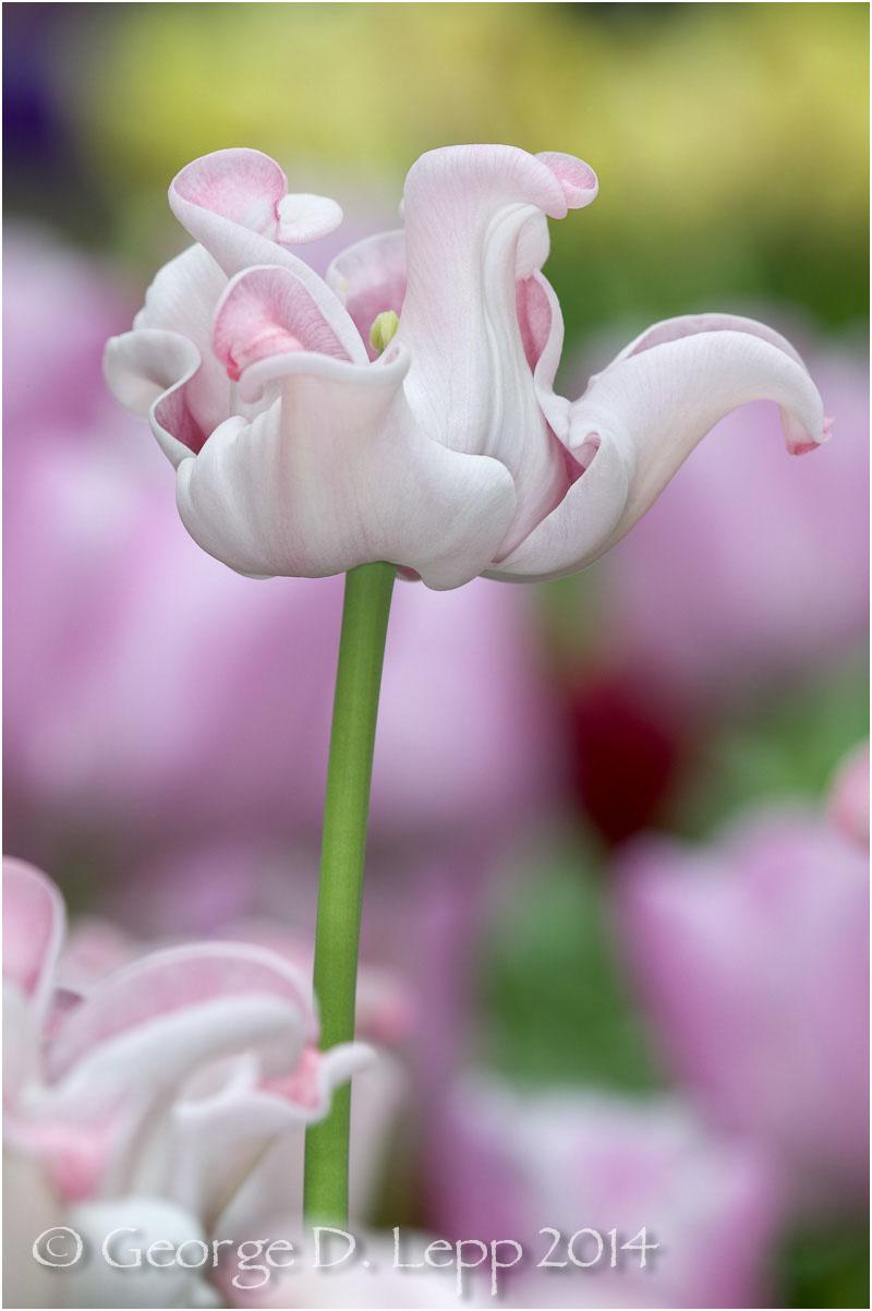 Tulips, Holland. © George D. Lepp 2014 PG-TU-0215
