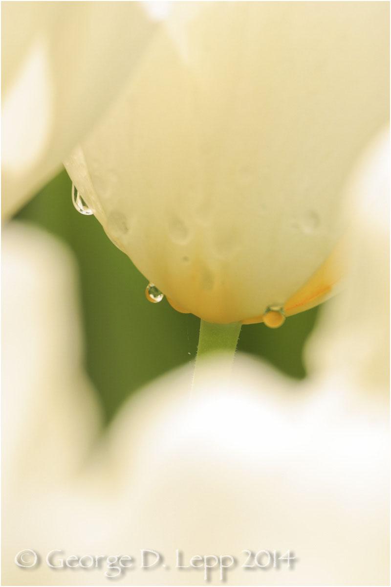 Tulips, Holland. © George D. Lepp 2014 PG-TU-0247
