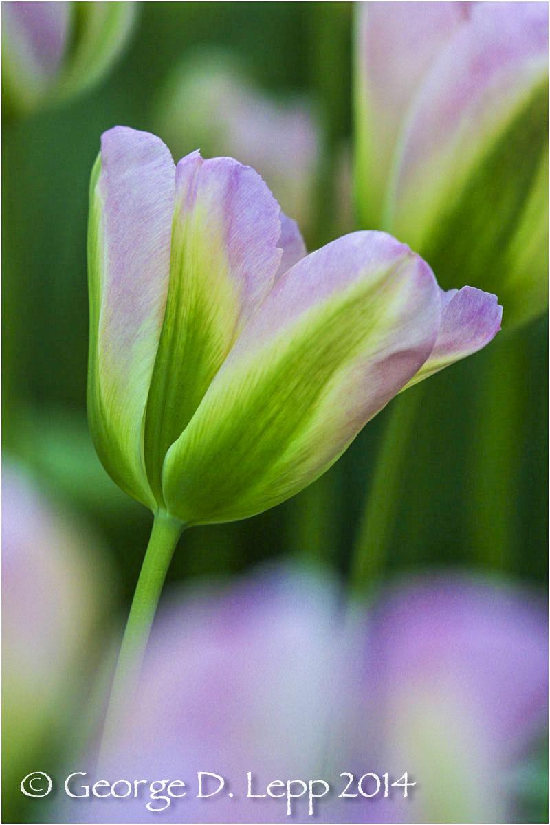 Tulips, Holland. © George D. Lepp 2014 PG-TU-0278