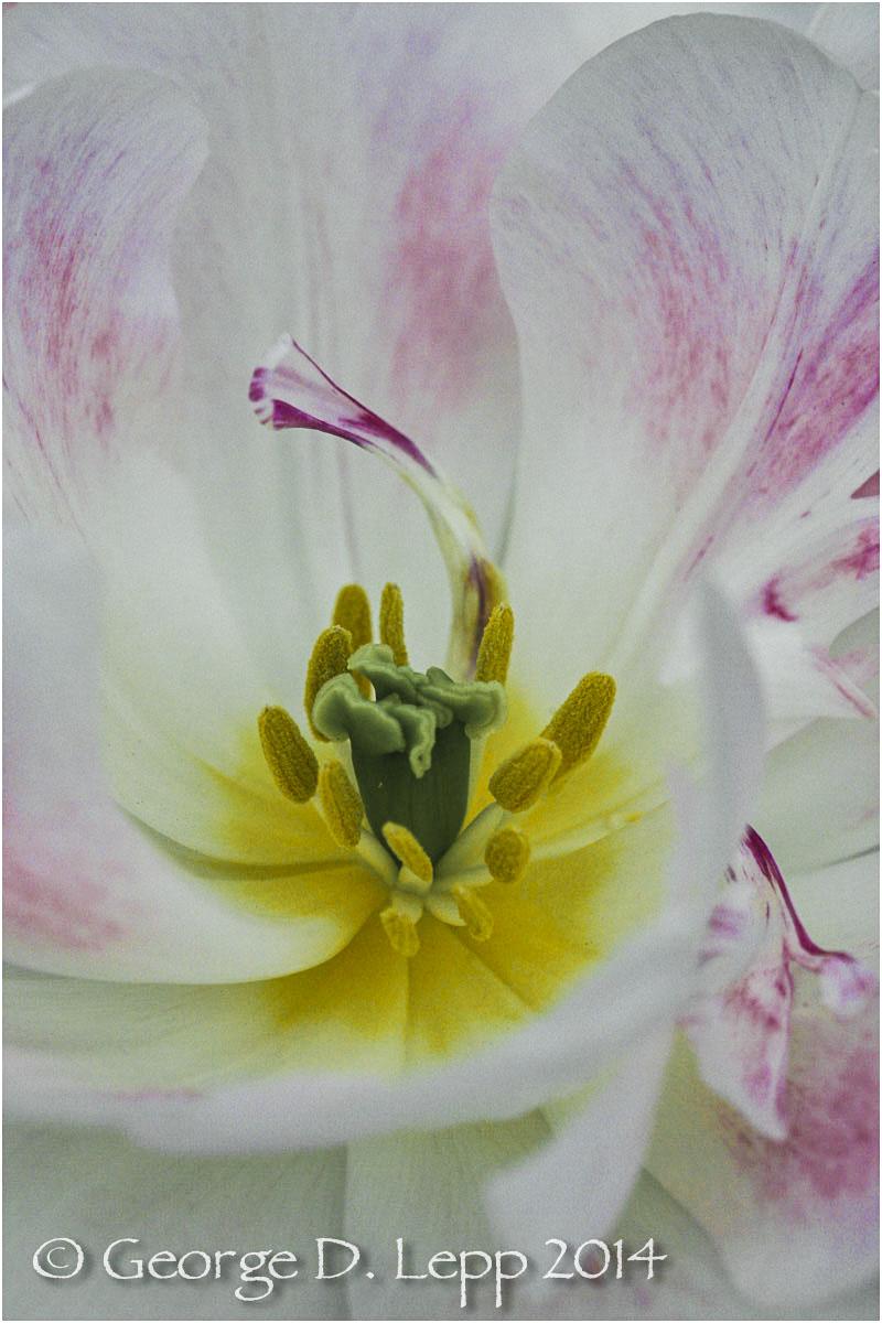 Tulips, Holland. © George D. Lepp 2014 PG-TU-0281