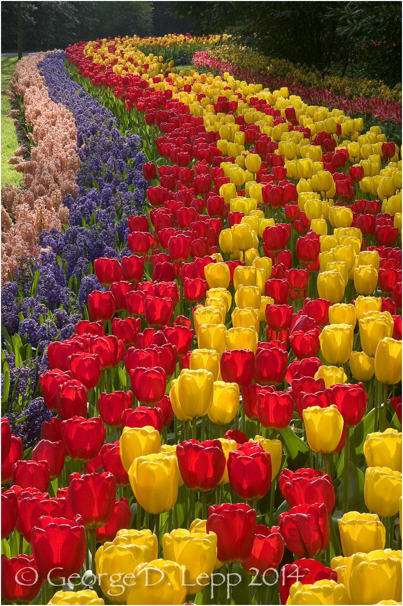 Tulips, Holland. © George D. Lepp 2014 PG-TU-0226