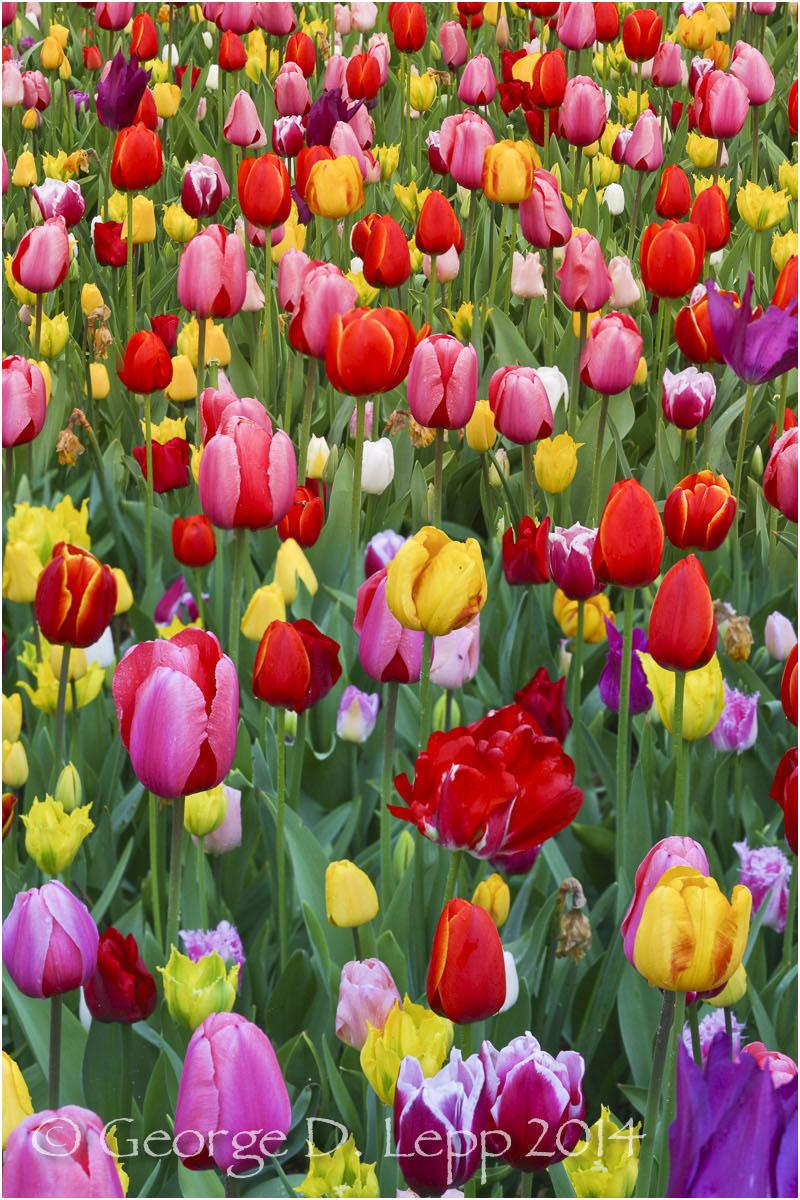 Tulips, Holland. © George D. Lepp 2014 PG-TU-0178