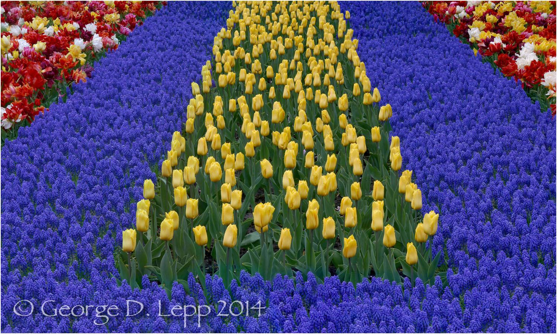 Tulips, Holland. © George D. Lepp 2014 PG-TU-0154