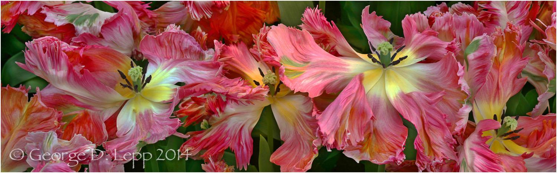 Tulips, Holland. © George D. Lepp 2014 PG-TU-0145