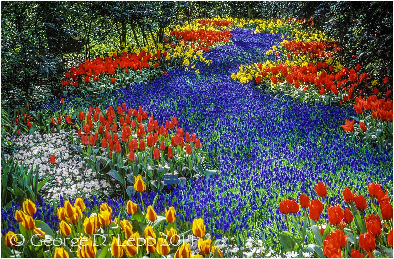 Tulips, Holland. © George D. Lepp 2014 PG-TU-0076
