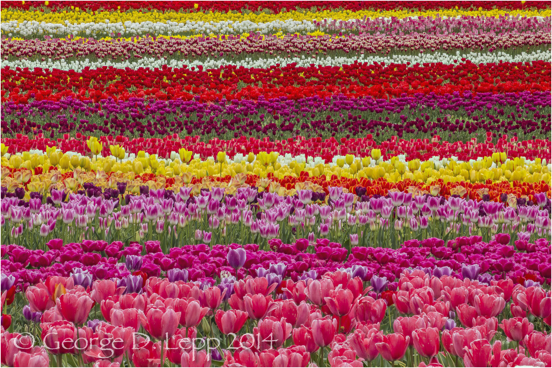 Tulips, Holland. © George D. Lepp 2014 PG-TU-0313