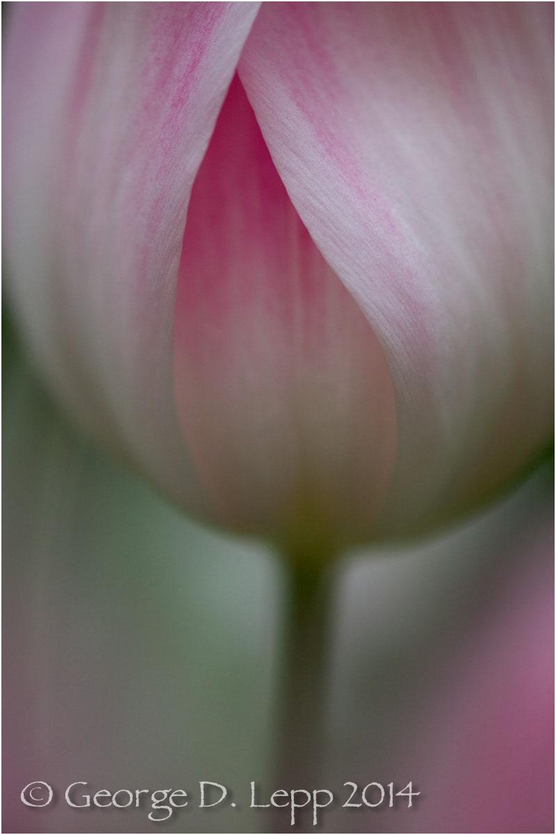 Tulips, Holland. © George D. Lepp 2014 PG-TU-0224