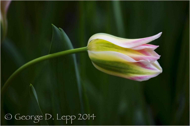 Tulips, Holland. © George D. Lepp 2014 PG-TU-0219