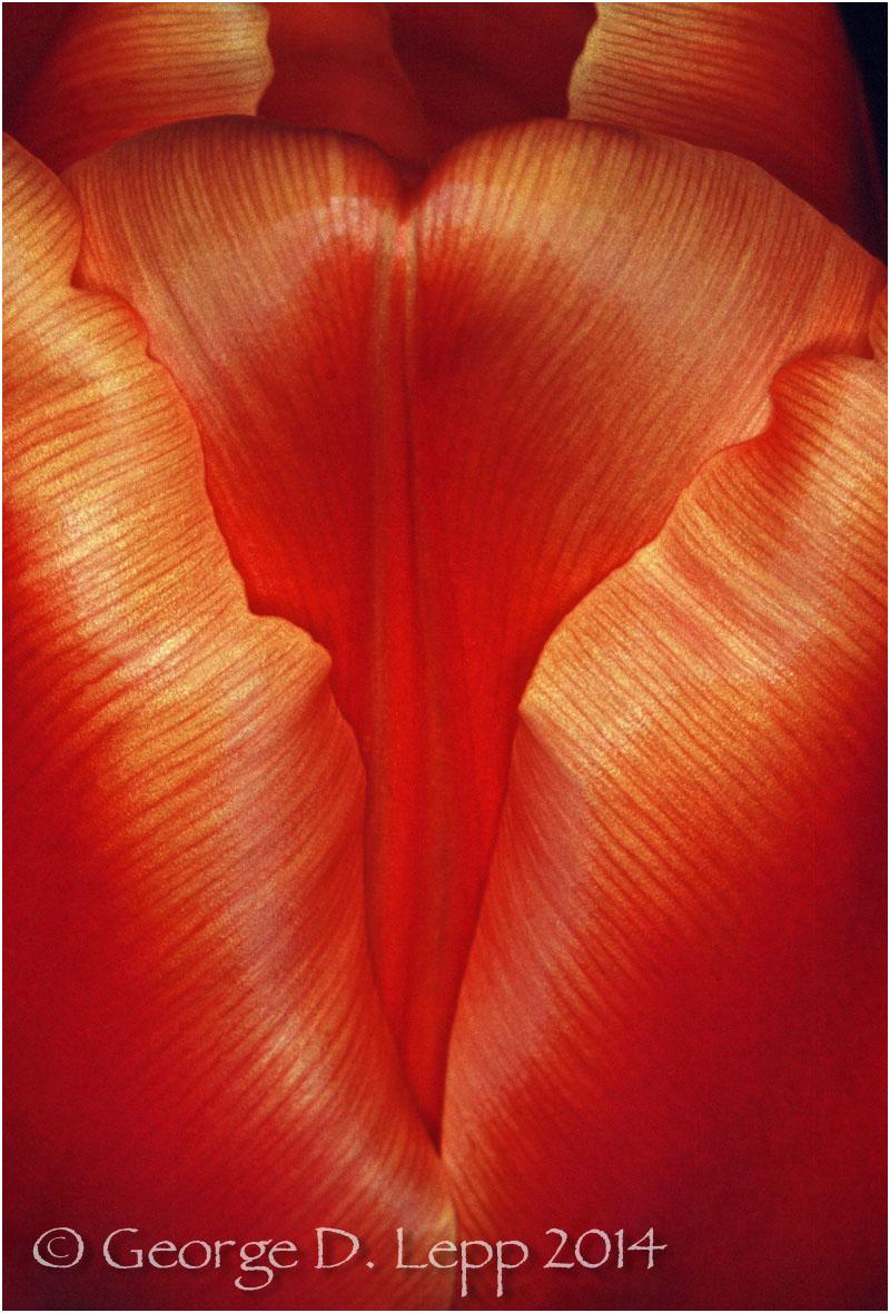 Tulips, Holland. © George D. Lepp 2014 PG-TU-0031