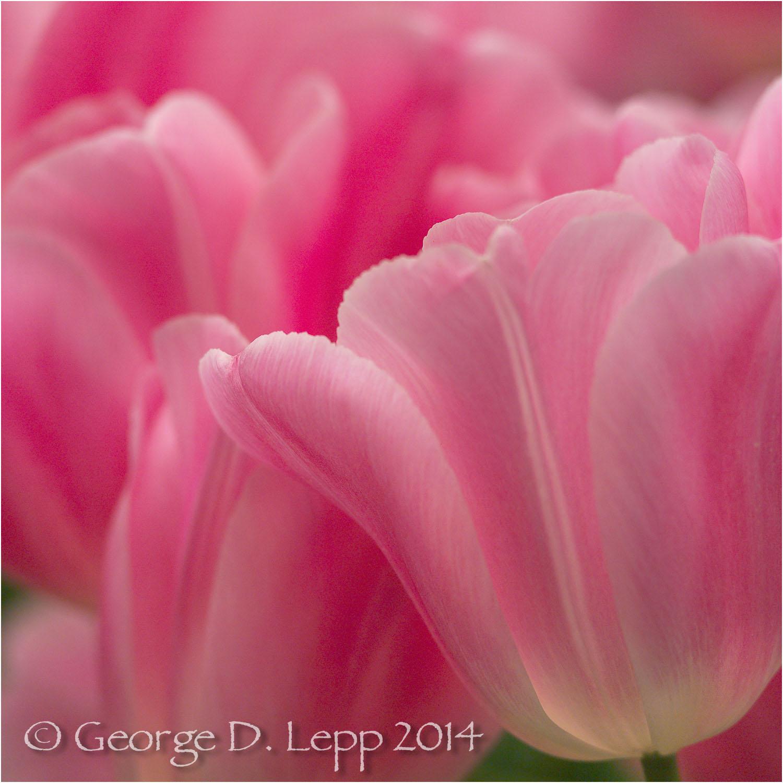 Tulips, Holland. © George D. Lepp 2014 PG-TU-0202
